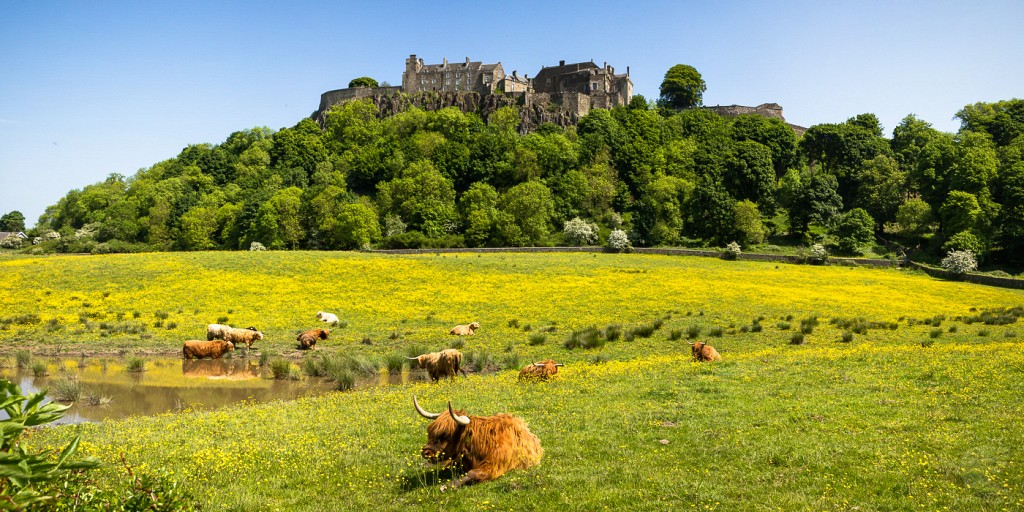 Cows at Stirling Castle